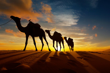 Poster Chameau Caravan of camel in the sahara desert of Morocco at sunset time