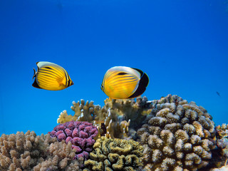 Red sea coral reef with hard corals