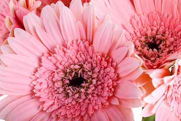 beautiful pink gerbera flower blooming in springtime