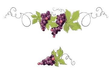 Vine, decorative element. Purple grapes, Vector illustration in watercolor style.