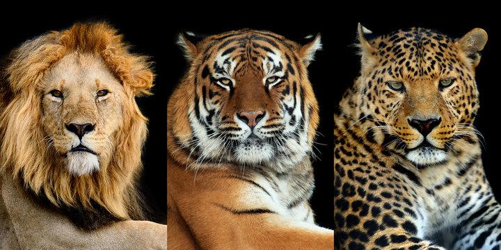 Three big wild cats (leopard, tiger, lion)