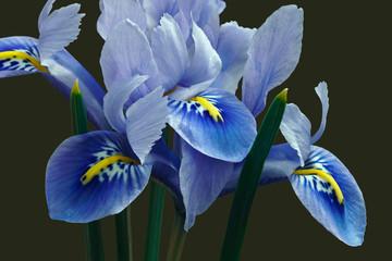 Photo sur Plexiglas Iris Harmony Dwarf Iris (Iris reticulata 'Harmony'). Hybrid between Iris reticulata and Iris histrioides. Image of flowers isolated on white background.