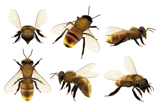 Honeybee realistic. Different wildlife danger insects flying wasp natural botanical fauna vector closeup pictures of bee. Bee wasp realistic, buzzing honeybee illustration