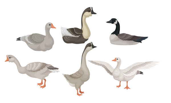Greylag Geese Standing with Stretched Wings and Sitting on the Ground Vector Illustrations