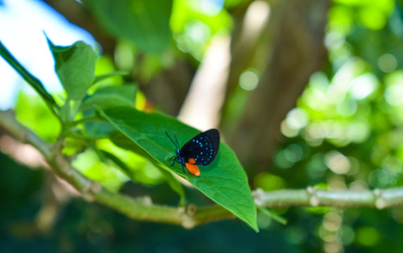 Atala Butterfly in Nature