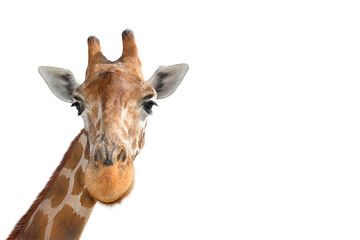 In de dag Giraffe Portrait of Young funny giraffe standing close up on white background.