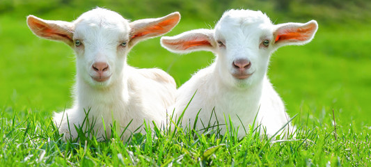 Two cute baby goats are sitting on a green meadow