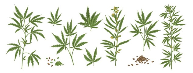 Set of different realistic green hemp with seeds. Collection of cosmetic and medical marijuana plant vector illustration. Cannabis herbal leaves front view isolated on white background.