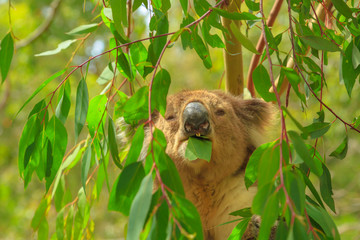 Garden Poster Koala Portrait of adult koala bear eating eucalyptus leaves at Phillip Island in Victoria, Australia. Many forests are destroyed by bushfires and Koalas are placed in Australian centers and reserves.