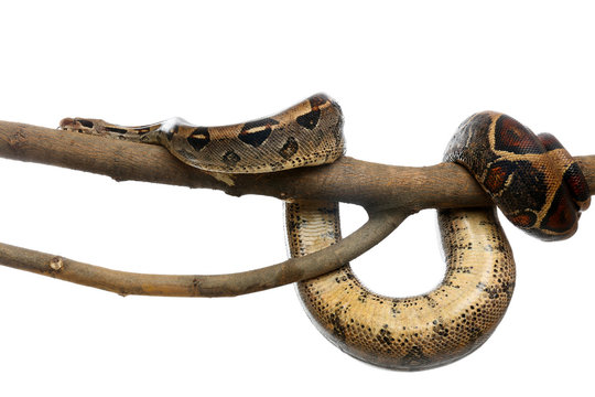 Brown boa constrictor on tree branch against white background
