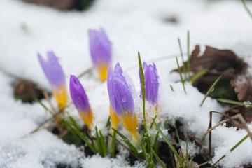 Crocus in the snow-covered garden, snowdrop flower