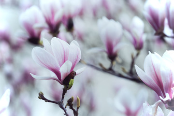 Photo sur Aluminium Magnolia beautiful magnolia flowers