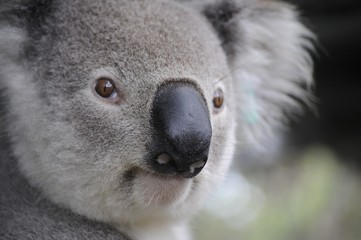 Photo sur Toile Koala Cute Koala bear in Australia