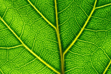 Extreme close up of a back lit green leaf