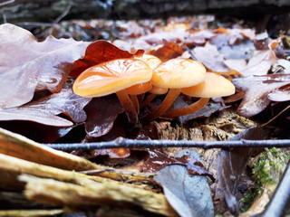Samtfußrübling (Flammulina) - Winterpilz im Wald