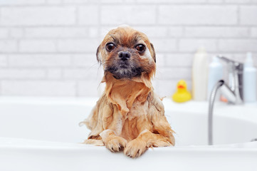 Wet spitz sitting in the bathtub