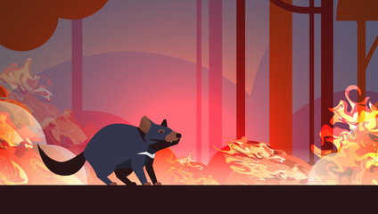 tasmanian devil escaping from forest fires in australia animal dying in wildfire bushfire burning trees natural disaster concept intense orange flames horizontal vector illustration