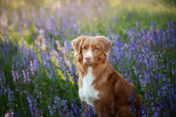 Dog in lilac flowers. Nova Scotia Duck Tolling Retriever in the outdoors. Portrait of a pet.