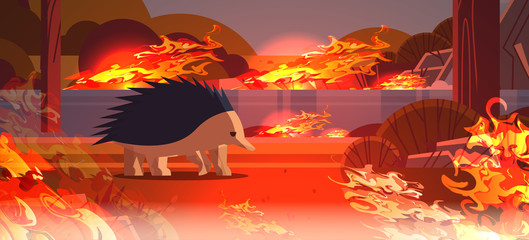 echidna escaping from fires in australia animal dying in wildfire bushfire natural disaster concept intense orange flames horizontal vector illustration