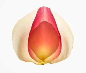 Close up of multicolor flower petals