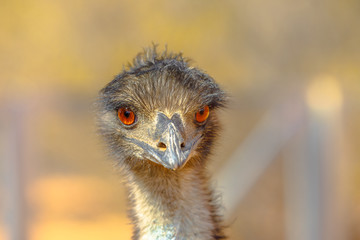 Front view of details of Emu, Dromaius novaehollandiae, cultural icon of Australia, appearing on...