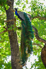 Photo sur Toile Paon peacock on a tree