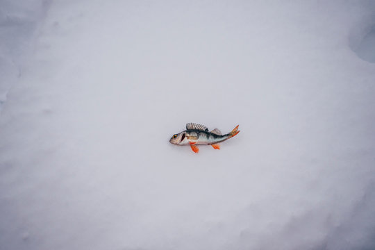 Dead fish laying on snow
