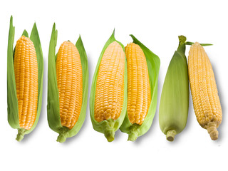 Fresh corn isolated on white background. A selective focus picture of corn cob in corn field.