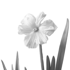 Foto op Canvas Narcis Daffodil isolated on a white. Black-and-white photo