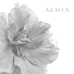 Azalea isolated on a white. Black-and-white photo
