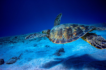 A turtle underwater in deep blue ocean hovering over sandy bottom background.