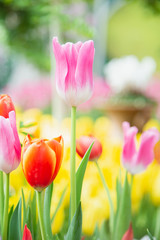 Fotobehang Bloemen Tulip flowers in garden nature background