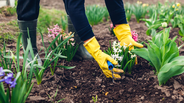 Farmer loosening soil with hand fork among spring flowers in garden. Woman in gloves checking hyacinths
