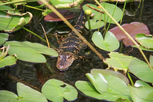 small alligator swimming in everglades.jpg