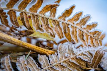Pożółkłe liście paproci pokryte szeronem i kryształkami lodu