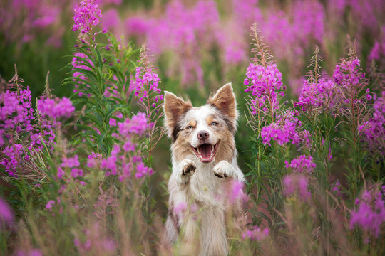 Dog in lilac flowers. Border Collie in a field on nature. Portrait of a pet.