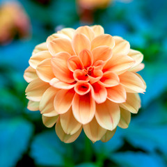 Fotorolgordijn Dahlia Orange dahlia blooming in garden. A picture of the beautiful orange dahlia. Soft focus, top view