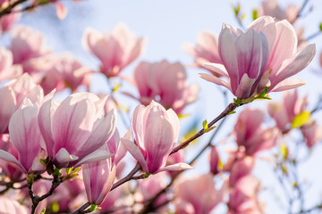 Photo sur Aluminium Magnolia magnolia tree blossom in springtime. tender pink flowers bathing in sunlight. warm april weather