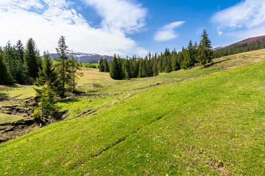 meadow and forest in mountains on a sunny day. snow capped ridge in the distance. wonderful springtime weather with clouds on the sky. traditional countryside landscape of carpathians