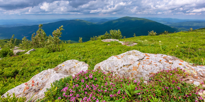 blooming wild herbs on the grassy hill. beautiful nature scenery of alpine meadows in carpathian mountains. summer weather with clouds on the blue sky