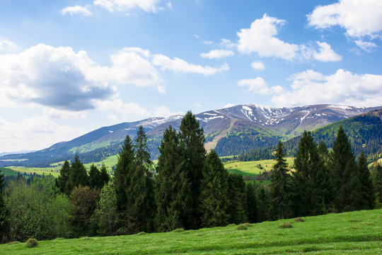 mountain landscape in spring. fir forest on the green grassy meadow. ridge with snow capped tops in the distance. wonderful sunny weather with fluffy clouds on the blue sky