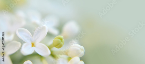Background or banner with white lilac flower and copy space