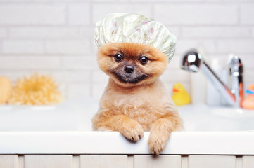 Spitz having bath wearing plastic shower hat