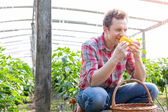 Male farmer smelling fresh yellow bell pepper in greenhouse