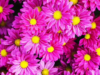 Wall Mural - pink Chrysanthemum flowers with water drops