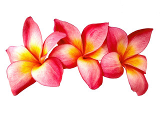 Foto auf Gartenposter Plumeria Plumeria flowers or Frangipani flower isolated on white background. Tropical flowers frangipani. Frangipani flowers are many in Bali.