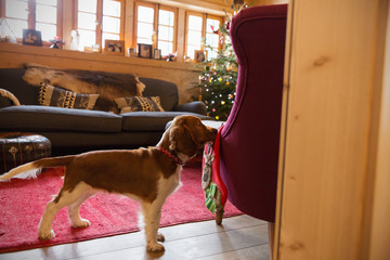 Cute dog with stocking in Christmas living room