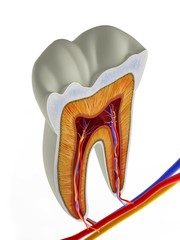 Molar tooth cross-section, artwork