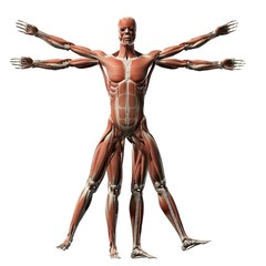 Vitruvian man muscles, Illustration