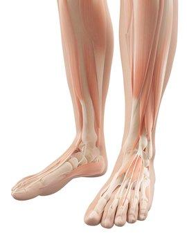 Human lower leg muscles, Illustration